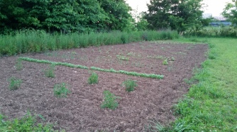 Garden in the growing stage.